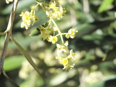 Olive flower