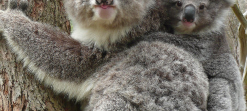 Scientists successfully sequence the koala genome