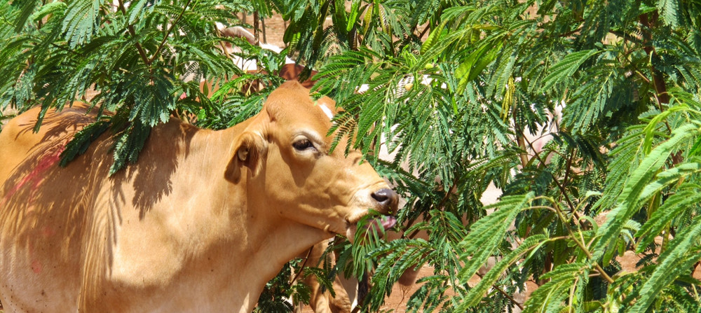Legume could serve as 'drought fodder' for cattle