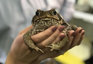 Scientists assemble the cane toad genome