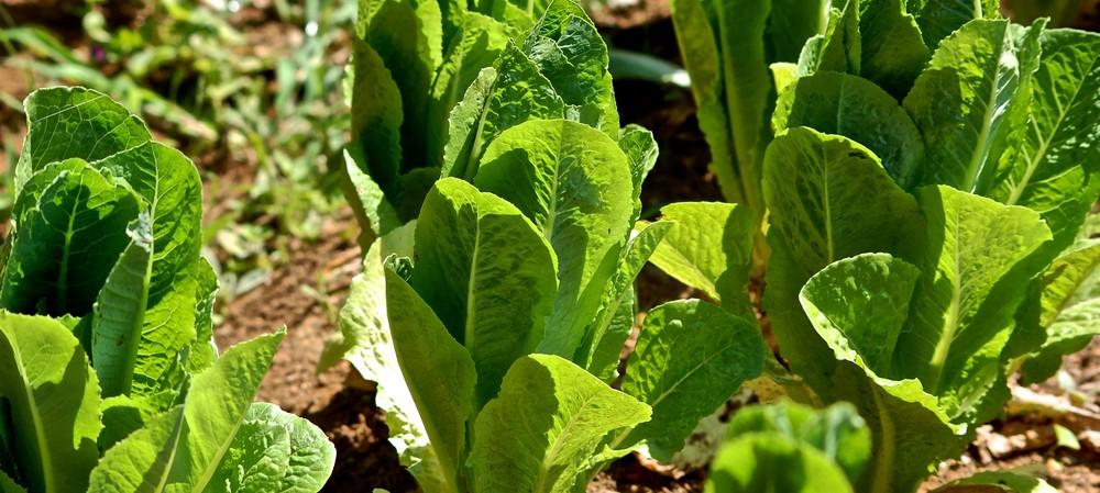 Wash-up from US&#39;s romaine lettuce <em>E. coli </em>O157:H7 outbreak