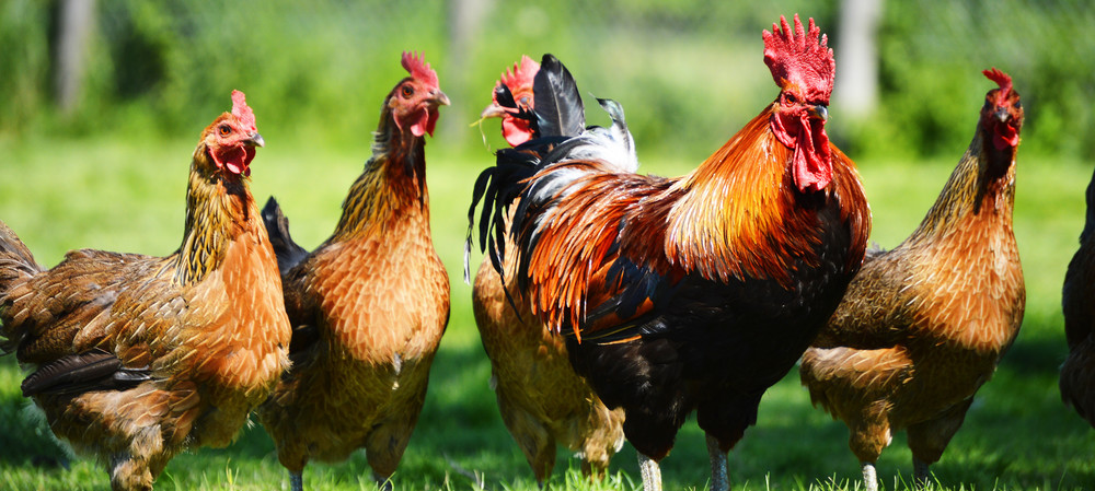 New $660 million value-added fresh poultry facility