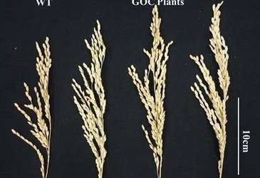 Engineered rice plants increase yield 27%