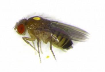 Promiscuous female fruit flies alter behaviour in males