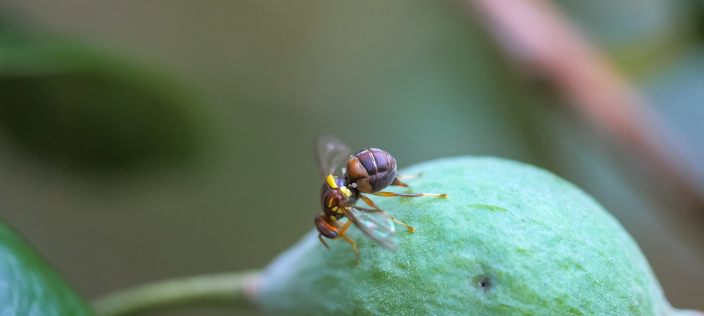 Did the Queensland fruit fly found in NZ have any friends?