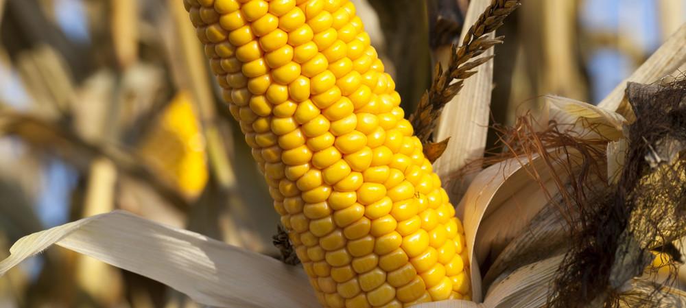 Ear, ear, corn science advances