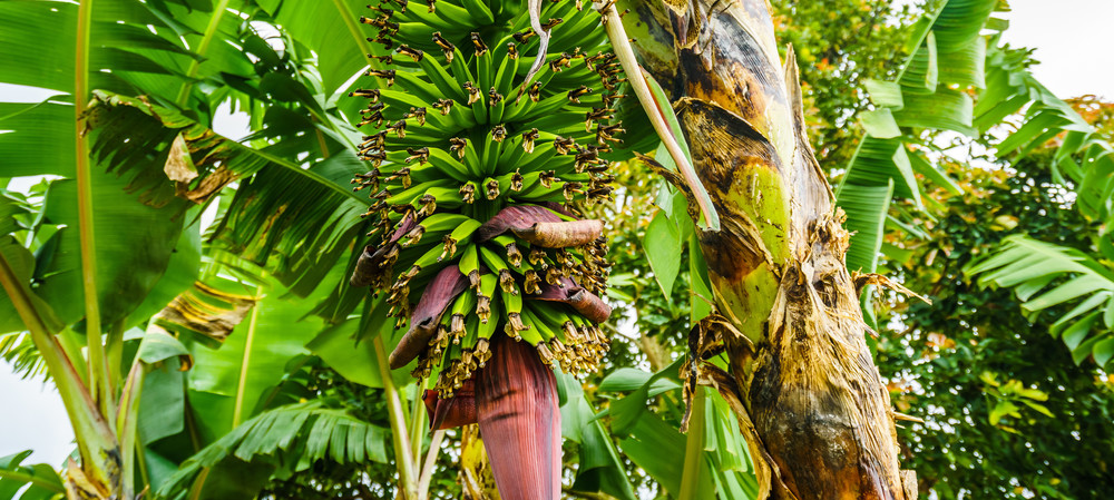 Packaging could be made from banana plants