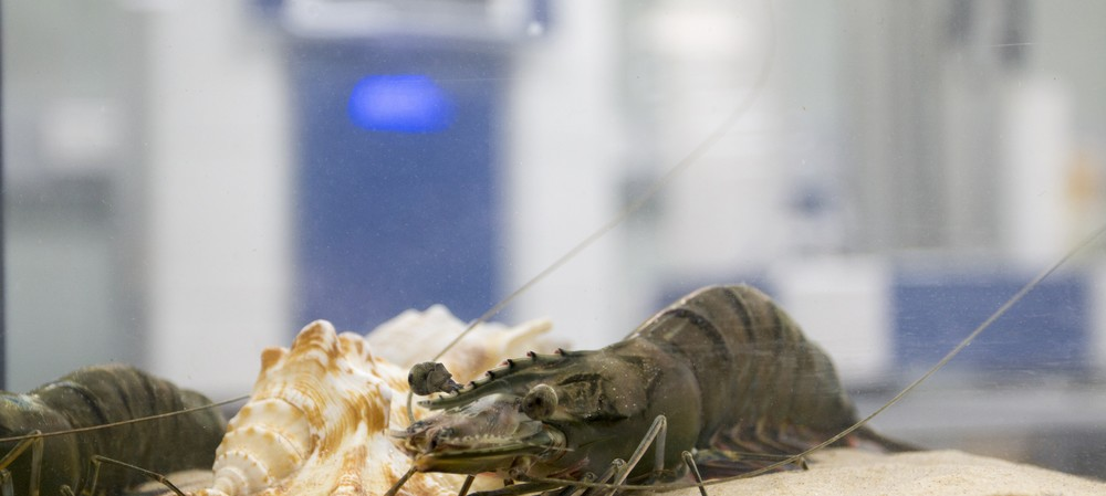 Prawns get the CSIRO health check in time for Christmas
