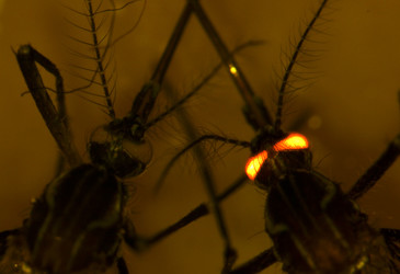 Genetically modified mozzies completely resistant to dengue