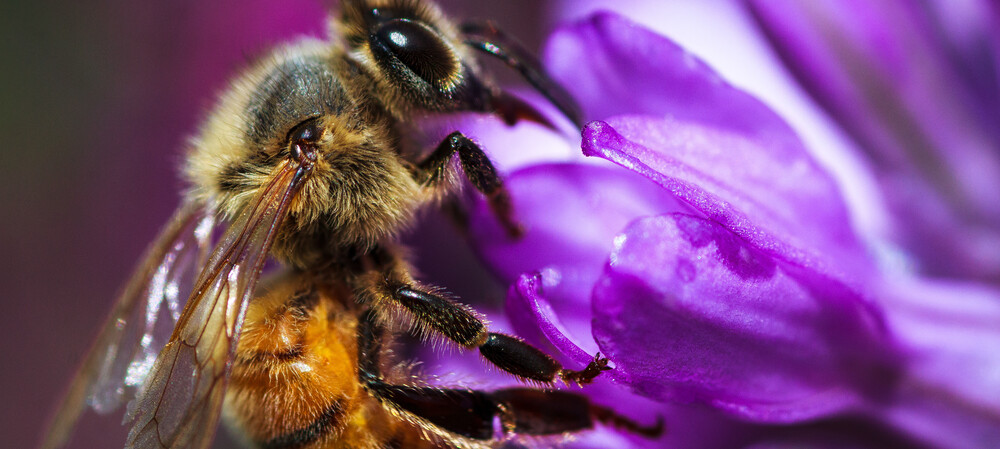 Honeybee venom kills aggressive breast cancer cells