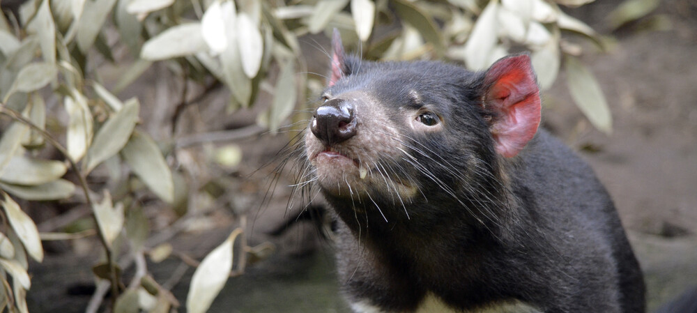 Statins could help save Tasmanian devils